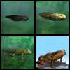 Metamorphosis of tadpole
